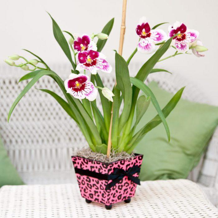 Картинки по запросу Орхидея мильтония