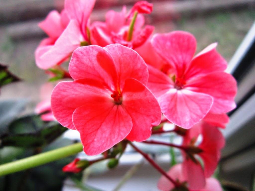 Картинки по запросу Цветущие зимой комнатные растения в красно-белой гамме