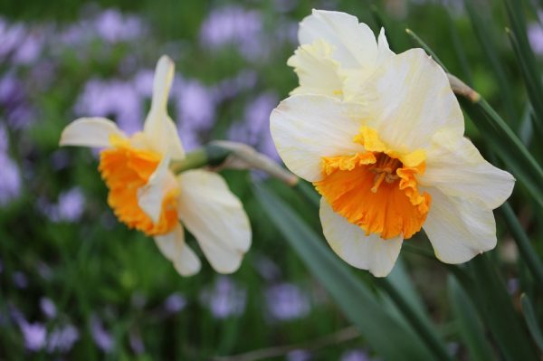 daffodils-2237638_960_720