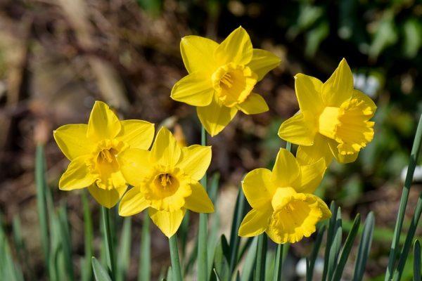 daffodils-3702101_960_720
