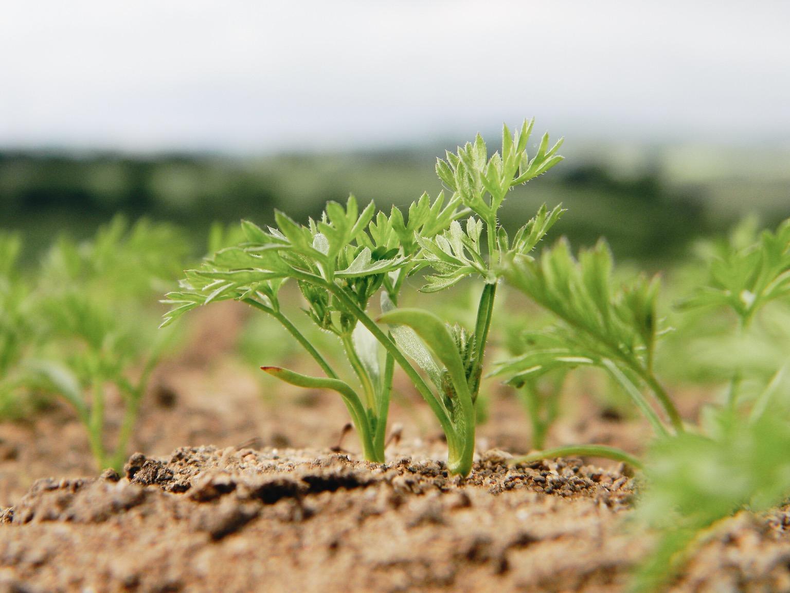 Картинки по запросу Как самому получить семена моркови и посадить их в грунт