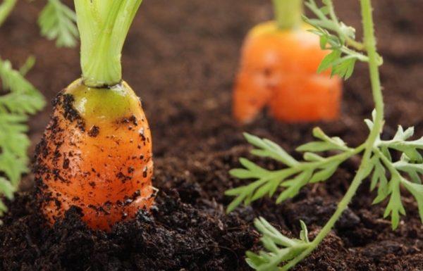 sposoby-i-shemy-posadki-morkovi