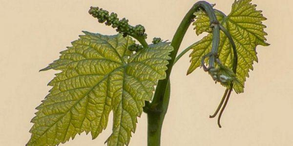 vinograd-vesnoy-1