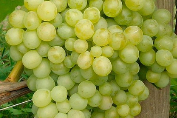 vinograd-vostorg-900x600