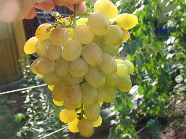 vinograd-vostorg