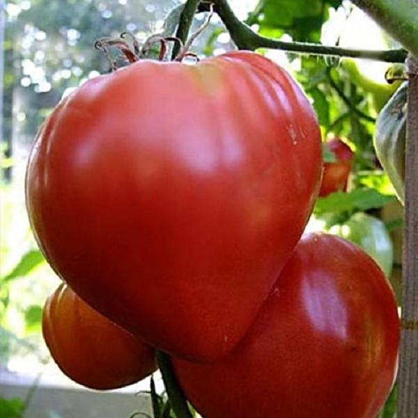 Картинки по запросу помидоры сорта Бычье сердце
