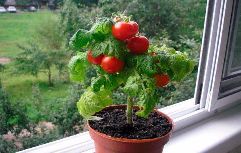 Картинки по запросу помидоры сорта Пиноккио