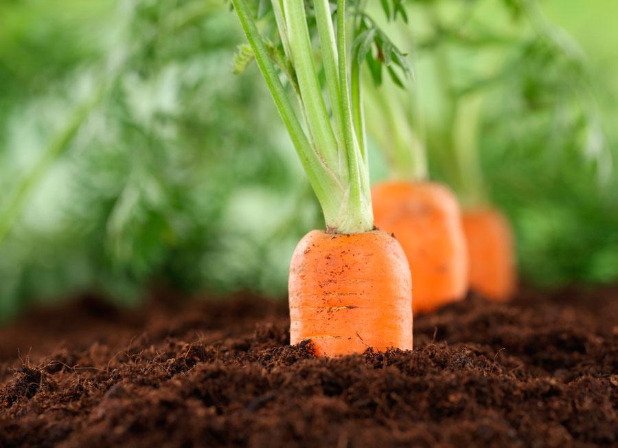 Картинки по запросу Как вырастить морковь в открытом грунте