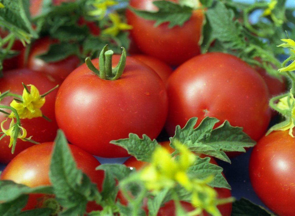 Картинки по запросу помидоры сорта Джина