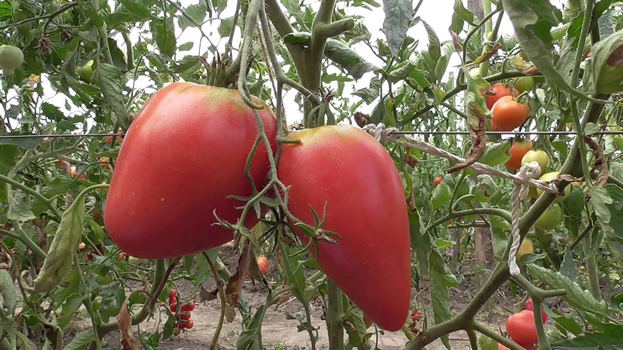Картинки по запросу помидоры сорта Чудо земли