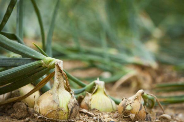 onion-bulb-02