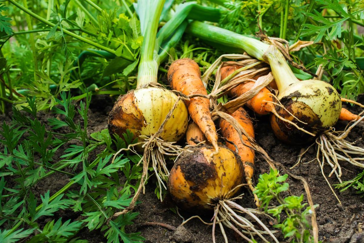 Картинки по запросу Морковь. Редис и редька