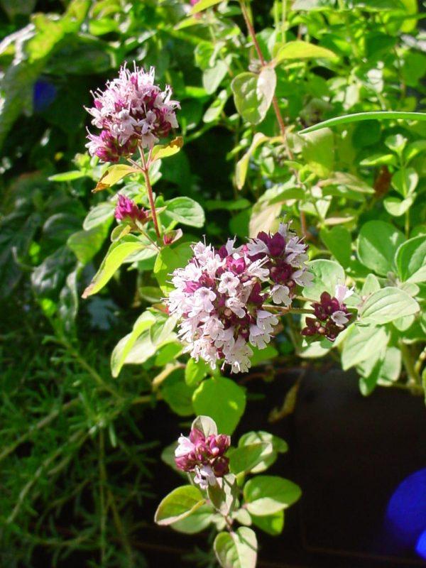 ChristianBauer_flowering_oregano