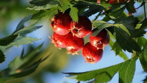 Crataegus-pinnatifida-640x360