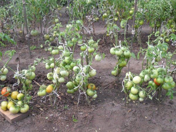 Nuzhno-li-okuchivat-pomidoryi-37