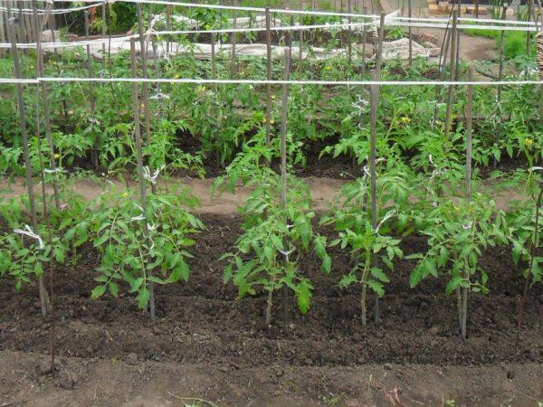 Nuzhno-li-okuchivat-pomidoryi-59