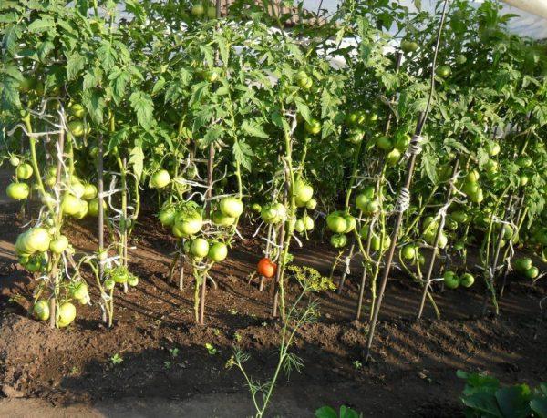 Nuzhno-li-okuchivat-pomidoryi-64