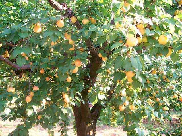 abrikos-krasnoshchekiy