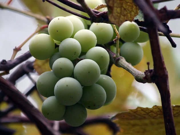 grapes2a