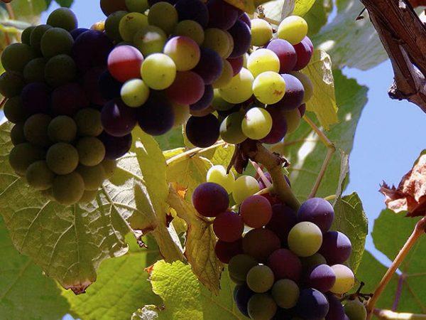 grapes2b