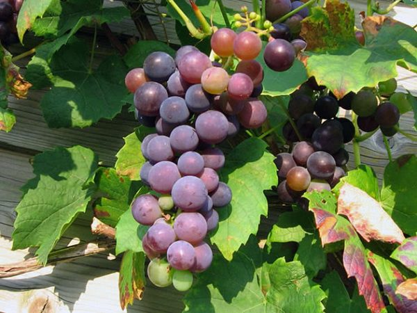grapes3a