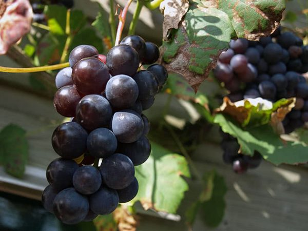 grapes3b