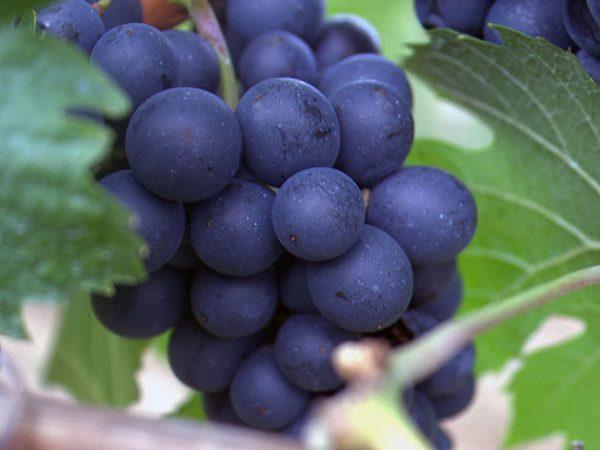 grapes3d