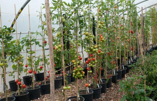 kak-podvyazyvat-vysokoroslye-pomidory-v-teplice-foto