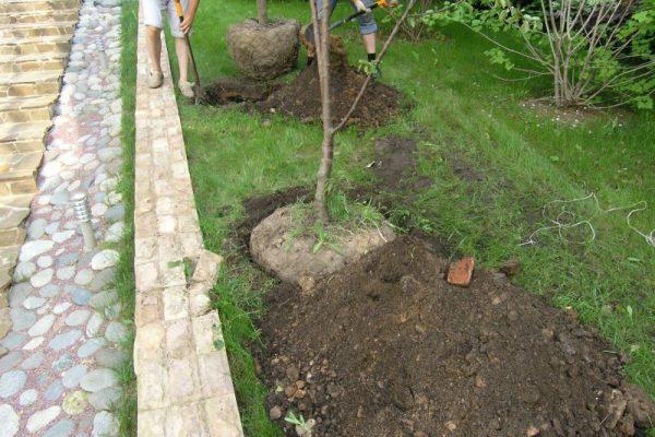 Как правильно пересадить плодовое дерево весной? 10 полезных советов по уходу за садом