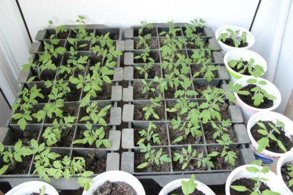rassada-tomatov-na-podokonnike