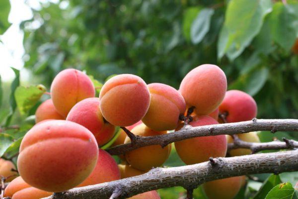 sort-krasnoshchekiy-abrikos