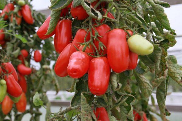sorta-tomatov-1
