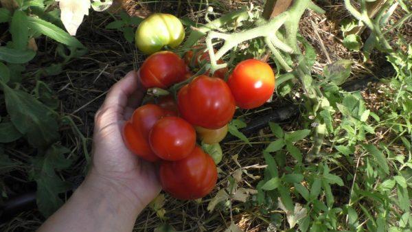 sorta-tomatov-2