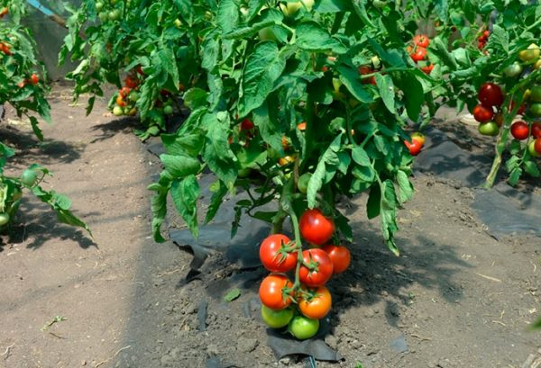 tomat-anyuta-opisanie-1