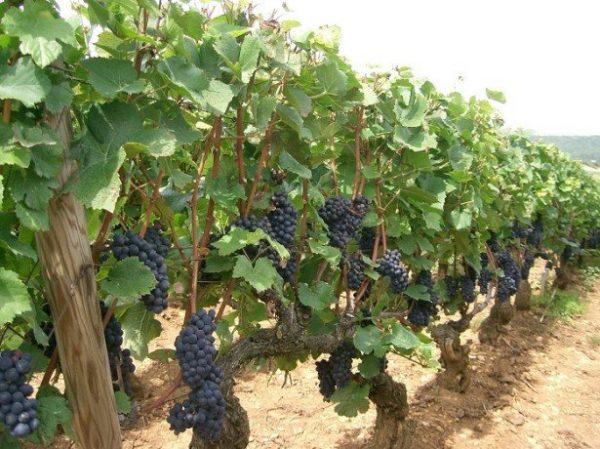 vyrashhivanie-vinograda-1-615x460