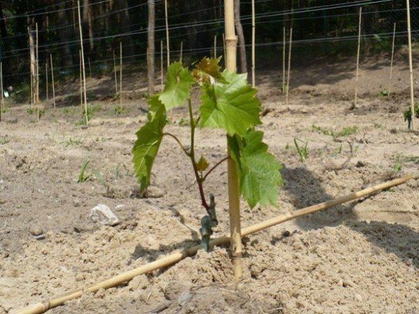 vyrashhivanie-vinograda-3-615x460