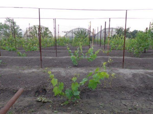 vyrashhivanie-vinograda-5-615x460