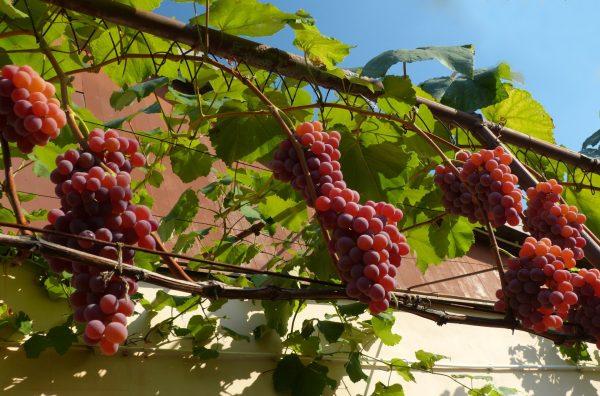 vyrawivanie_vinograda_v_centralnoj_rossii_vybor_sorta_pravila_posadki_i_uhoda_main1