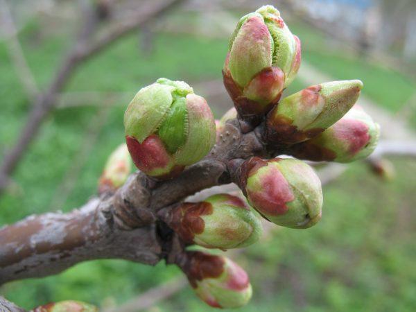 Kak-privivat-plodovye-derevya-mostikom