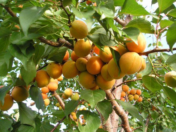 abrikos-lel