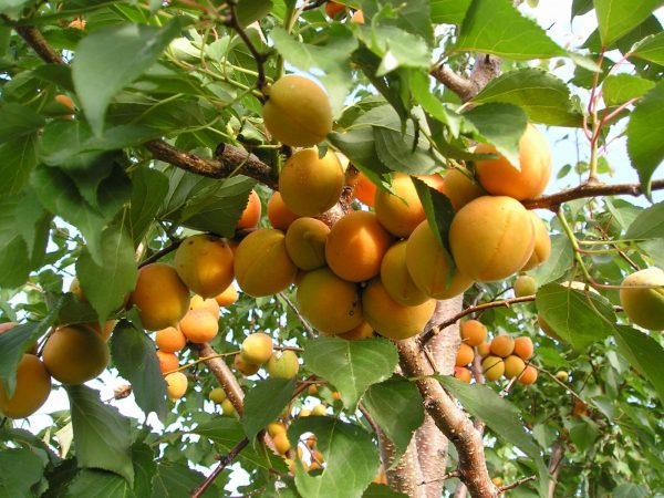 abrikos