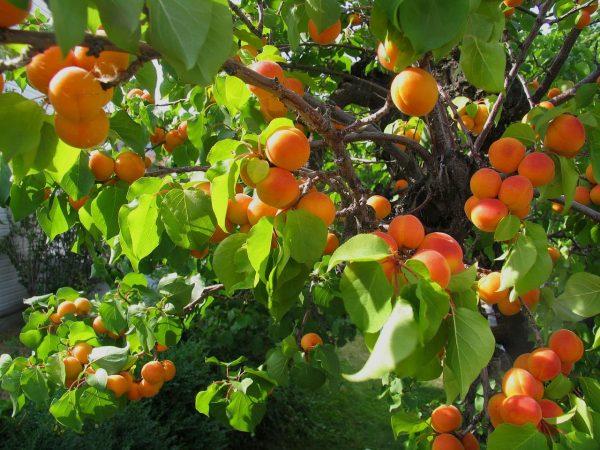derevo-abrikos