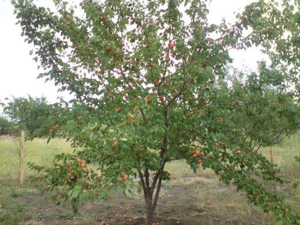 derevo-abrikosa-sorta-lel-1