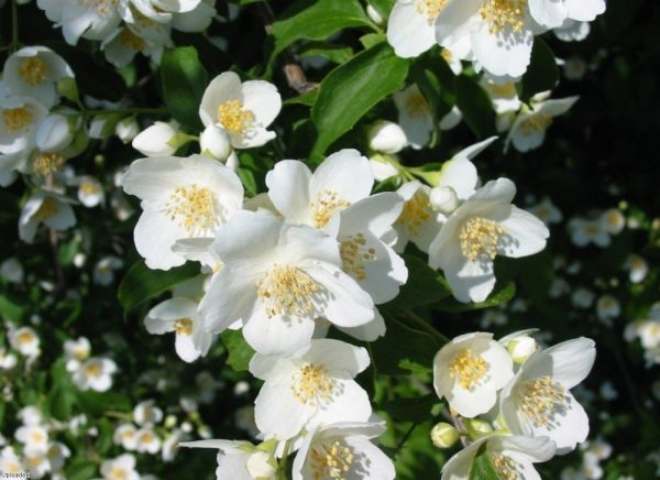 jasmine_flowers_1280x960-e1457364209688