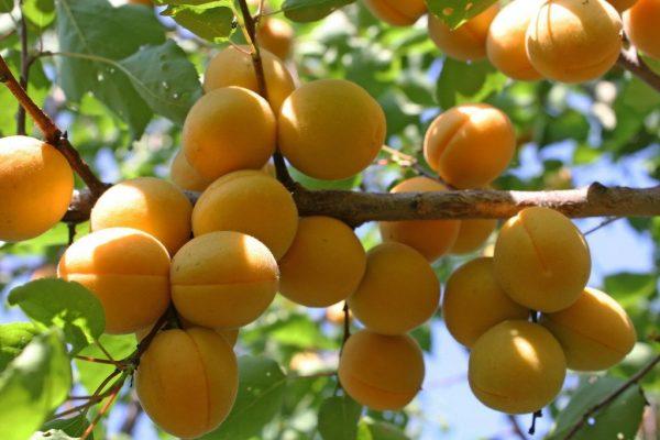 plody-abrikosa-sorta-lel-2