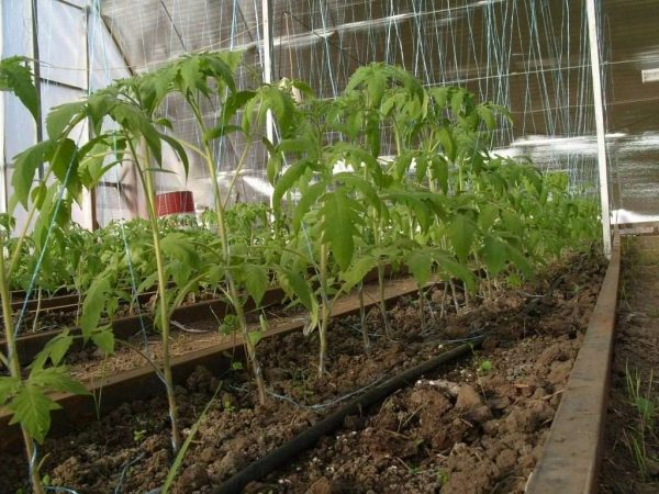 pomidory-v-teplice-iz-polikarbonata_12_1