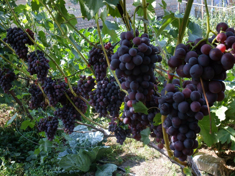 Картинки по запросу Выращивание винограда в теплице