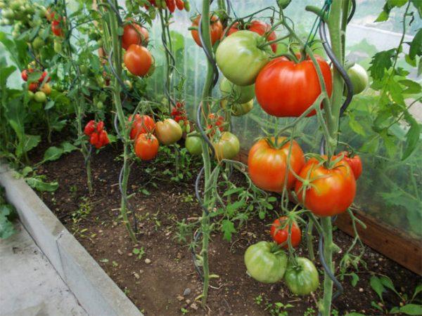 tomaty-v-teplice