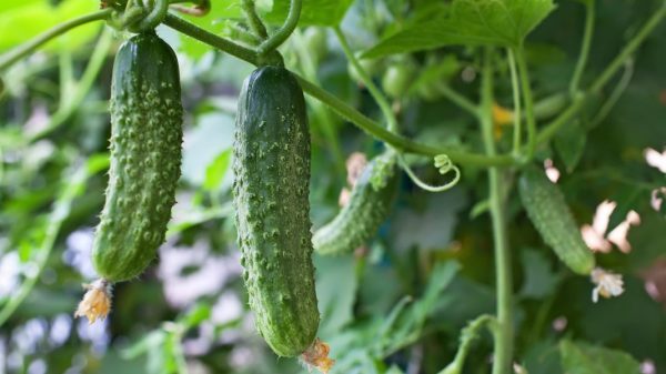 Cucumbers-Growing-3