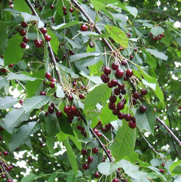 Prunus_avium_fruit